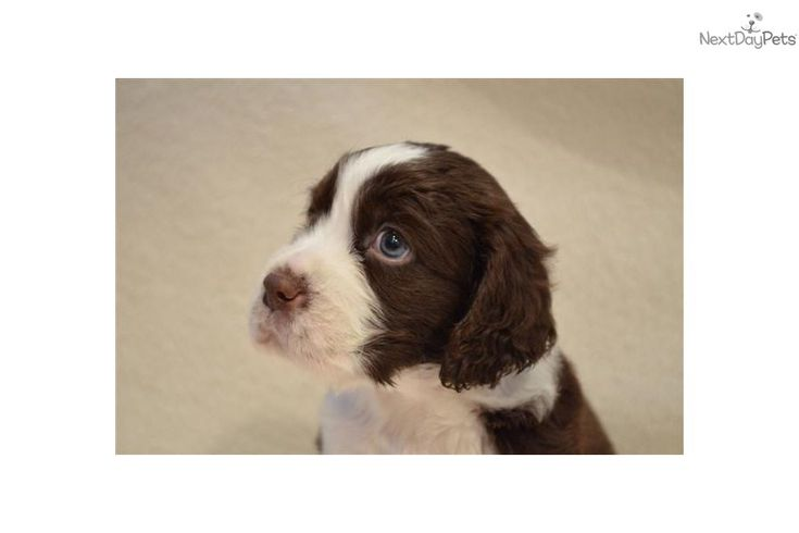english springer spaniel males pictures | English Springer Spaniel for sale for $800, near Dallas / Fort Worth ...