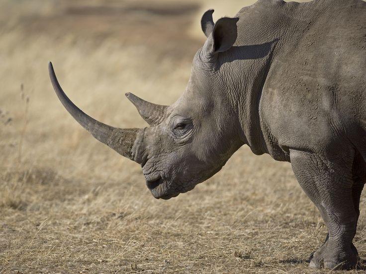 Braconnage : saisie de plus de 100 kg de cornes de rhinocéros au Vietnam : Geo.fr