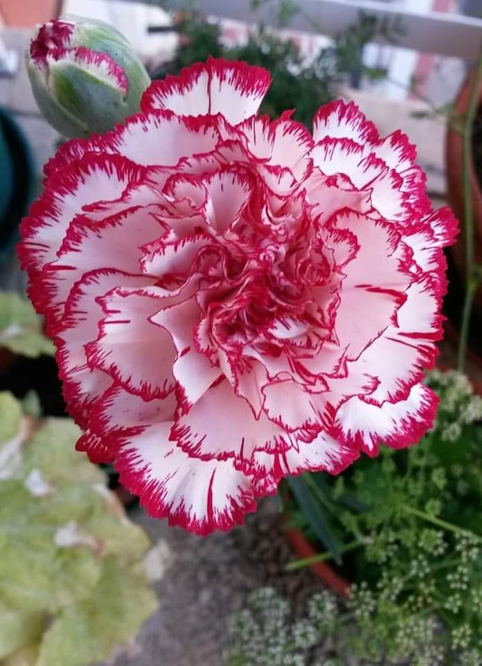 Pin By Evelyn Mcbride On Flower With Images Carnation Flower Carnation Plants