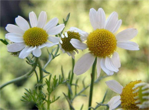 10 besten Crabgrass Pictures Bilder auf Pinterest | Bilder, Gärtnern ...