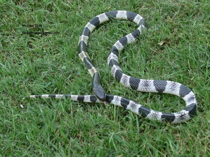 Blue Krait - Believe it or not, one bite from this slippery assassin is enough to kill you.  When it bites you, it's venom will enter your body and is supposed to be an unbelievable 15 times more deadly (virulent) than that of the common Cobra snake so if you get bit by one you better have an anti-venom! Even though it is one of the scariest snakes on the planet it also very relaxed.