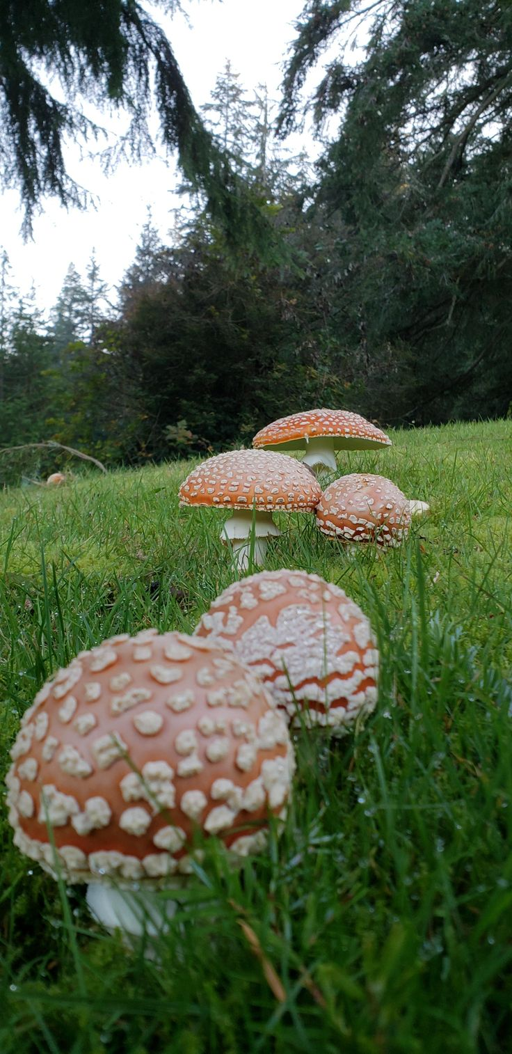 [OC] found these amanitas on my local golf course