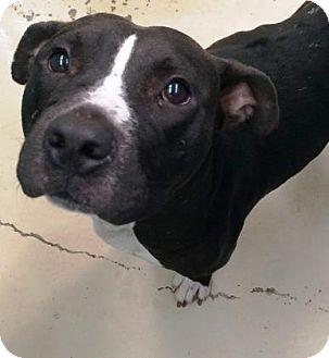 Bryan, TX - American Pit Bull Terrier Mix. Meet , a dog for adoption. http://www.adoptapet.com/pet/16770271-bryan-texas-american-pit-bull-terrier-mix