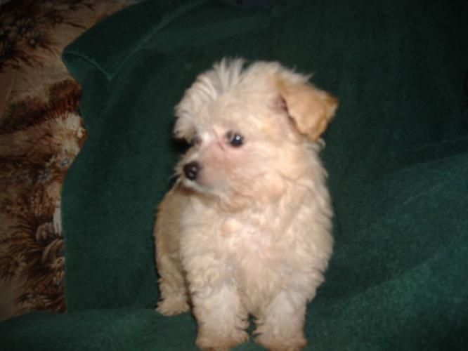 Poodle chihuahua mix breeders