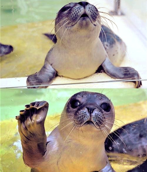 baby seal.: Awww, Critter, Sea Lion, Pet, Creatures, Baby Animal, Smile, Baby Seals, Adorable Animal