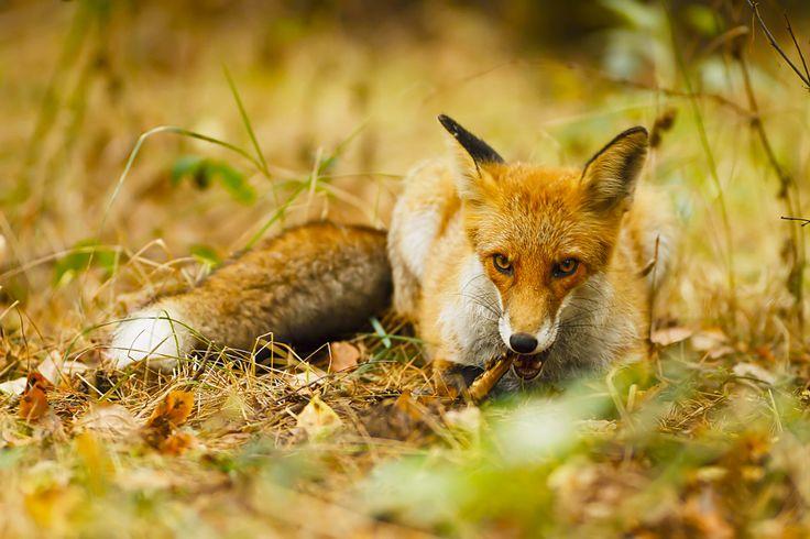 Red Fox by Lennert Piltz