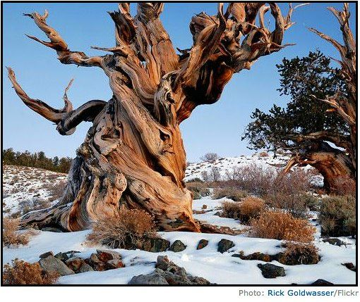 Meet Methuselah. This wonderful ancient bristlecone pine is the oldest known non-clonal organism on Earth and stands at a respectable 4,841 years old. The ancient tree is named after Methuselah, a Biblical figure having the longest mentioned lifespan in the Bible of 969 years. It's located in the White Mountains of California but it is off limits to the public to keep it protected so enjoy now!