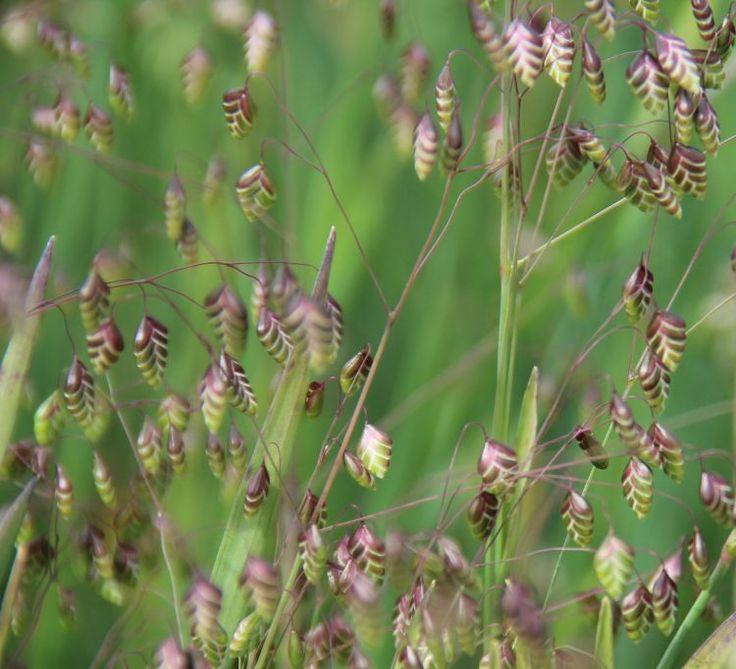 Briza media (common quaking grass)