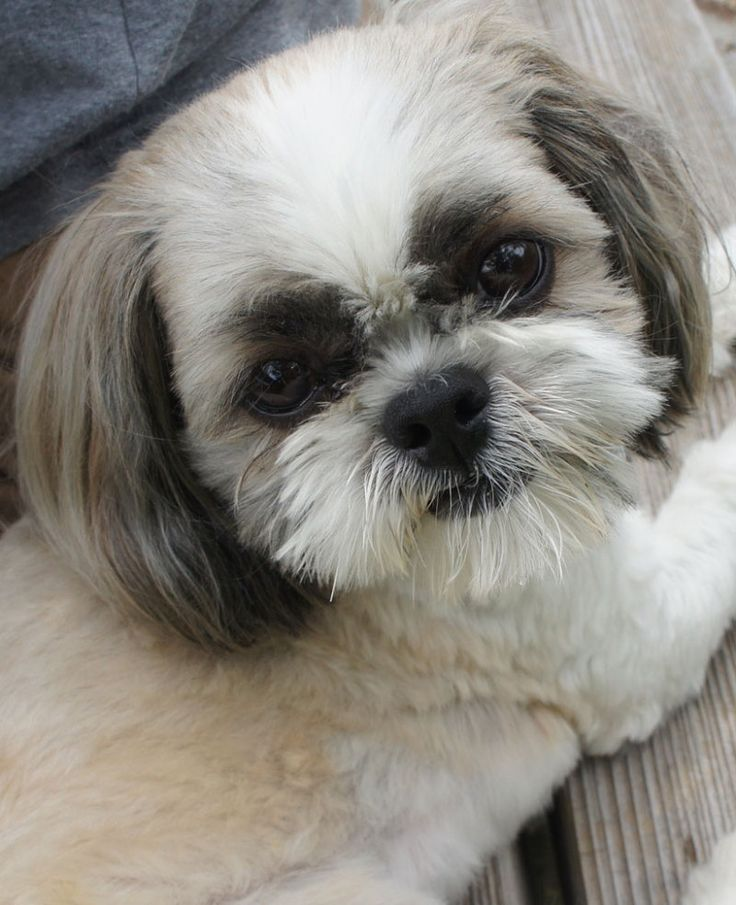 haircuts for shih tzus 17 best images about shih poo pictures on west 2126