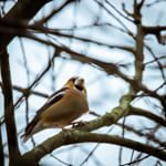 Kernbeißer / Hawfinch #rieselfelder #rieselfelderwindel #bielefeld #Kernbeißer #naturfotografie #hawfinch #instabirds #naturephotography #instanature #getoutside #thegreatoutdoors #getoutdoors #outdooradventures #openmyworld #goplayoutside #wildernessculture #ourplanetdaily #wildlifeplanet #keepitwild #lonelyplanet #passionpassport #theoutbound #explorewildly #finditliveit #adventuremobile #exploremore #natgeo
