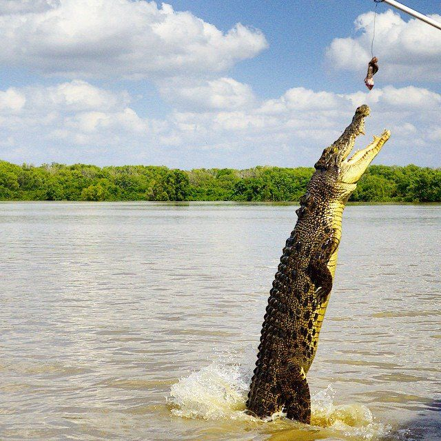 The judges gave this crocodile a score of 9 out of 10 for technique - well, it is a pretty spectacular leap! @kmarietonkin took this shot on a Jumping Croc Cruise on the Adelaide River in Darwin. With almost as many crocodiles as people in the Northern Territory - Australia's Outback, it is thought that there are around 150,000 saltwater crocodiles and at least 100,000 freshwater crocodiles in this part of Australia.