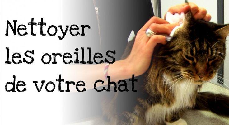 Le  Dr Laurence De Meester - de Courcy,  vétérinaire, vous montre comment nettoyer les oreilles de votre chat et vous donne tous les conseils pour que celles-ci restent saines et que le chat ne développe pas d'otites ou d'infections.