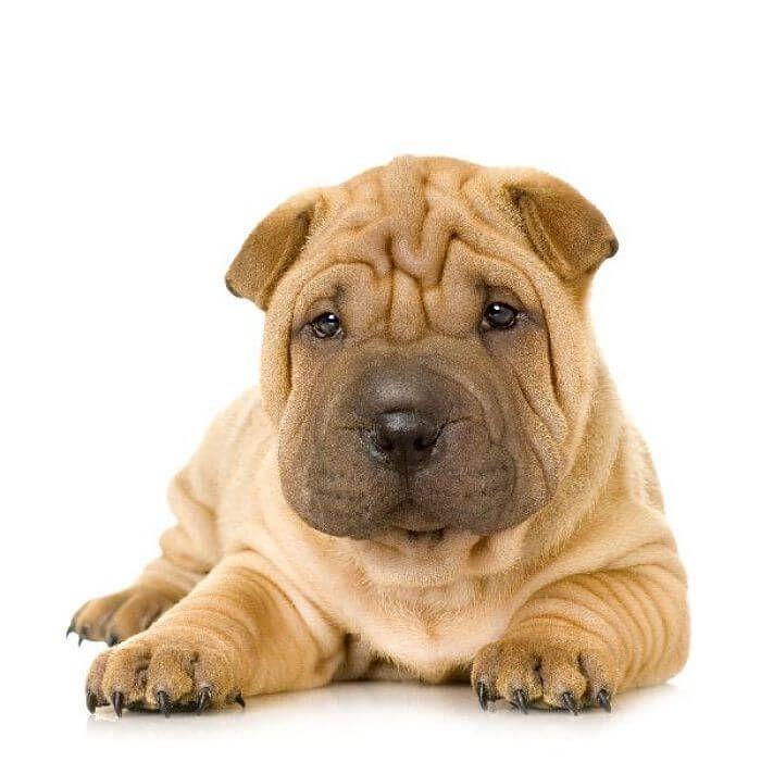 raza de perros shar pei