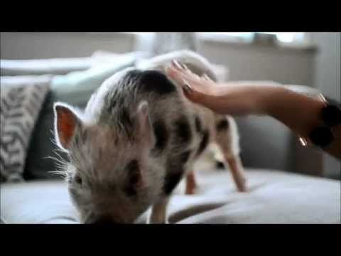 How to Train Your Micro Mini Pig: Sit, Stay, Jump, Shake Hands - YouTube Someday....I will have one.