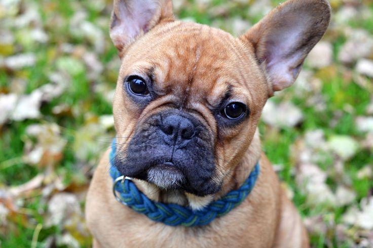 Puppy eyes #frenchie #semu #dog #frenchbulldog