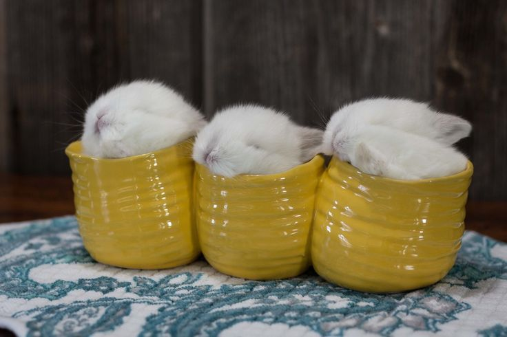 Three baby frosty Holland lop bunnies in flower pots.  Photo by Hook's Hollands Ohio Holland Lops