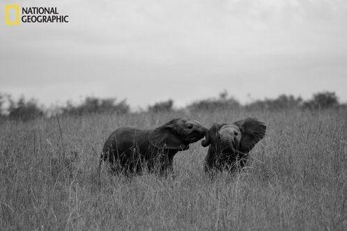 <3 elephants: Baby Elephants, Wildlife Photography, National Geographic, Lucky Elephant, Elephant Baby, Elephant Elephant, Youghal, Animal, Geographic Pictures