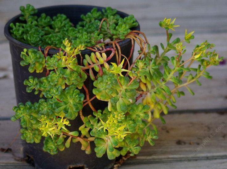 15 best california native succulents images on pinterest sedum oreganum green stonecrop with yellow flowers mightylinksfo