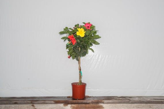 Live Hibiscus Tree Braided Mix 4 Colors Overall Height 44 To