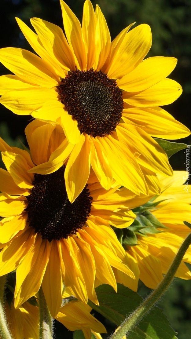 Zolte Sloneczniki Tapeta Na Telefon Aesthetic Wallpapers Wallpaper Sunflower