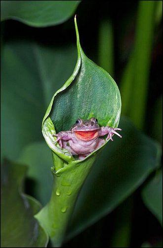 Afbeeldingsresultaat voor rana sacando la lengua