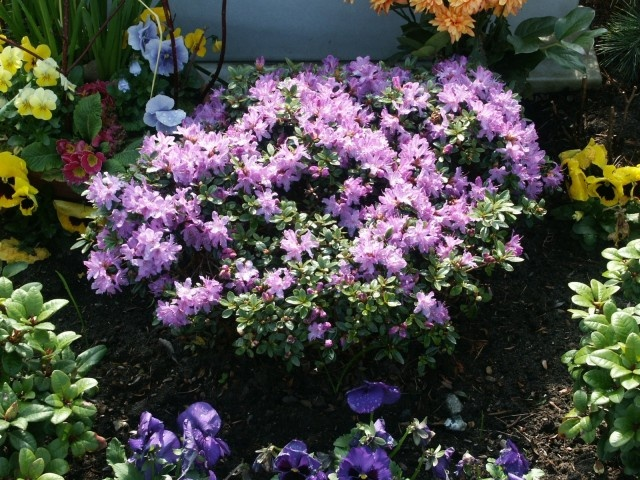 2 of these in the front -- rhododendron impeditum - 1' x 1.5'. I might add one to the back.