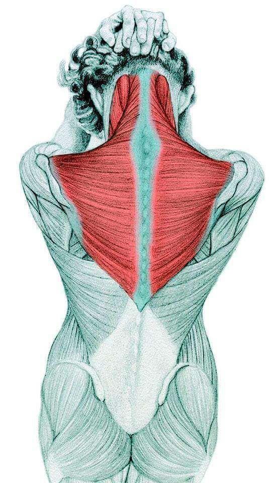 трапециевидная мышца картинки воротину