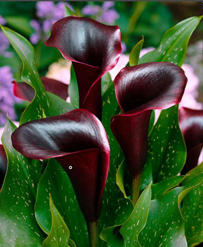 #calla #zantedeschia #schwarzwalder #summer #estate #flowers #fiori #rosso #red