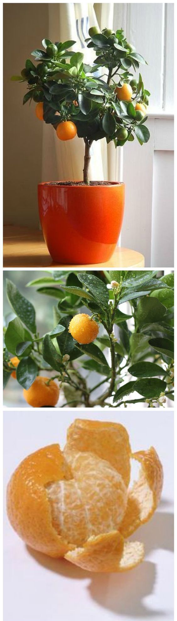 How to Grow Clementines From Seeds Clementines are a sweet, small citrus fruit that are often confused as tangerines