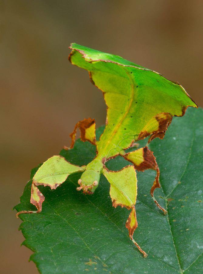 Phyllie, phasme feuille  Le pouvoir de se fondre dans la végétation