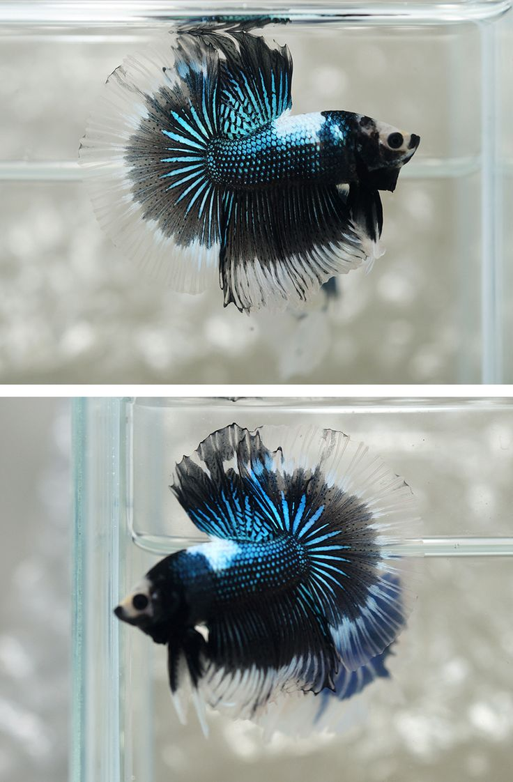 189 best bettas images on pinterest beautiful fish for Betta fish light