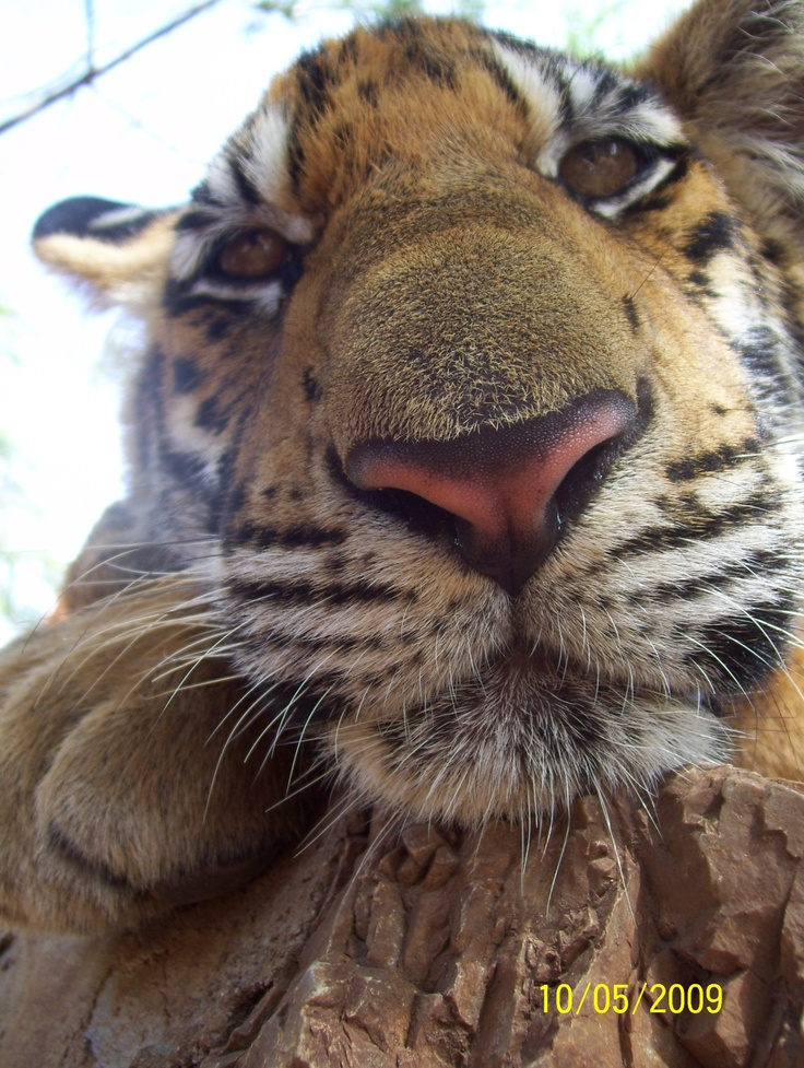 At the Tiger Temple in Thailand this big cat inspects a camera.