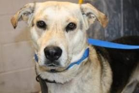Time is up can be pts at anytime   NAME: Goody   ANIMAL ID: 21021328   BREED: shep mix   SEX: male   EST. AGE: 2 yr   Est Weight: 40-45 lbs   Health: appears healthy- hw neg   Temperament: dog friendly, people friendly.   ADDITIONAL INFO: field owner surrender   Greenville County Pet Rescue https://www.facebook.com/photo.php?fbid=523810247697242&set=a.514861361925464.1073741847.194011810677089&type=1&theater