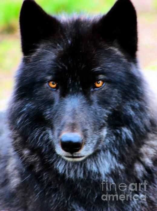 Wolves: Black #wolf.
