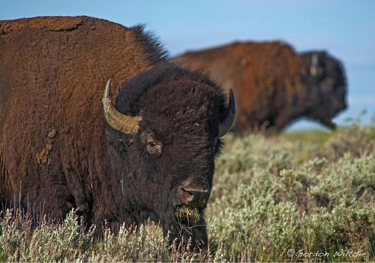 Photo by @gordonwiltsie // When Lewis and Clark first paddled up the Missouri River into central Montana they were astonished by herds of bison that seemed to stretch to the horizons. Within just decades these animals were virtually wiped out and driven from the prairies into mountain habitats like Yellowstone National Park. These bison that I photographed last week, however, are part of a herd of more than 600 animals that has been reintroduced to their native habitat by the American…