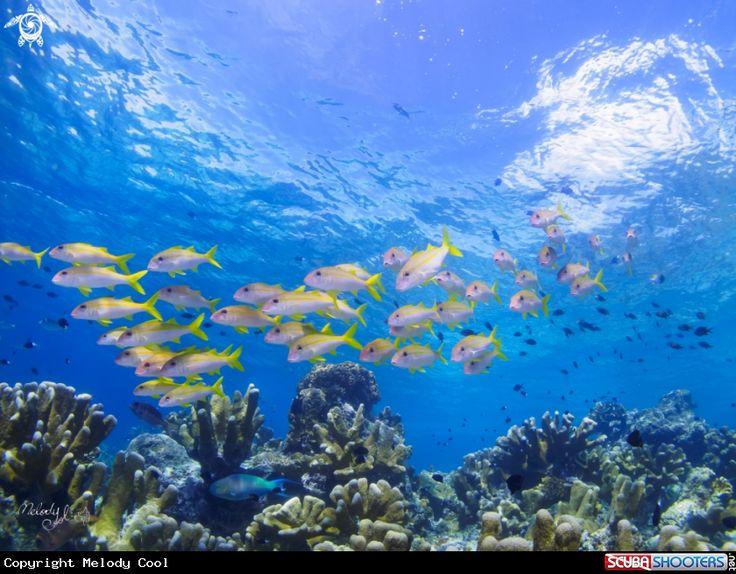 Coral fish in Sipadan -  Malaysia