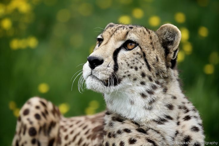 Cheetah - A gorgeous Cheetah at WHF Big Cat Sanctuary...  The yellow flowers make a nice background! :-)