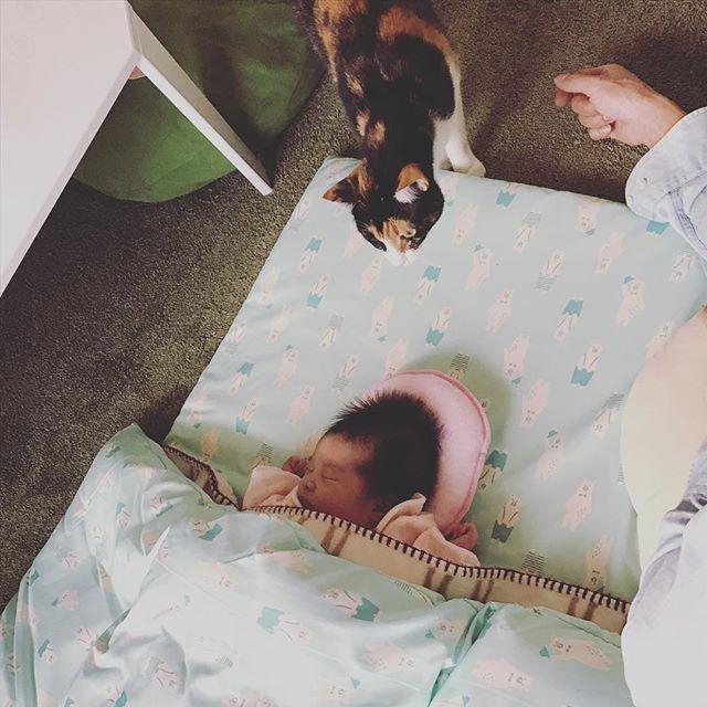 里帰り中なんですが、ちょっとだけ家に連れて帰ると… オスカルは興味しんしんでくんくん⭐️ アンドレはキャットタワーから見下ろすだけでした(笑) これから楽しみ💗 #猫と赤ちゃん #赤ちゃんと猫 #三毛猫 #オスカルとアンドレ #元野良猫 #保護猫 #猫部 #にゃんすたぐらむ #猫好きさんと繋がりたい #ねこら部 #愛猫 #新生児