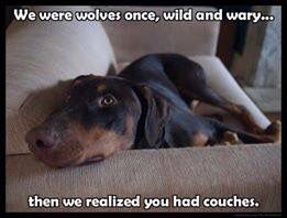 #Dobermans love couches