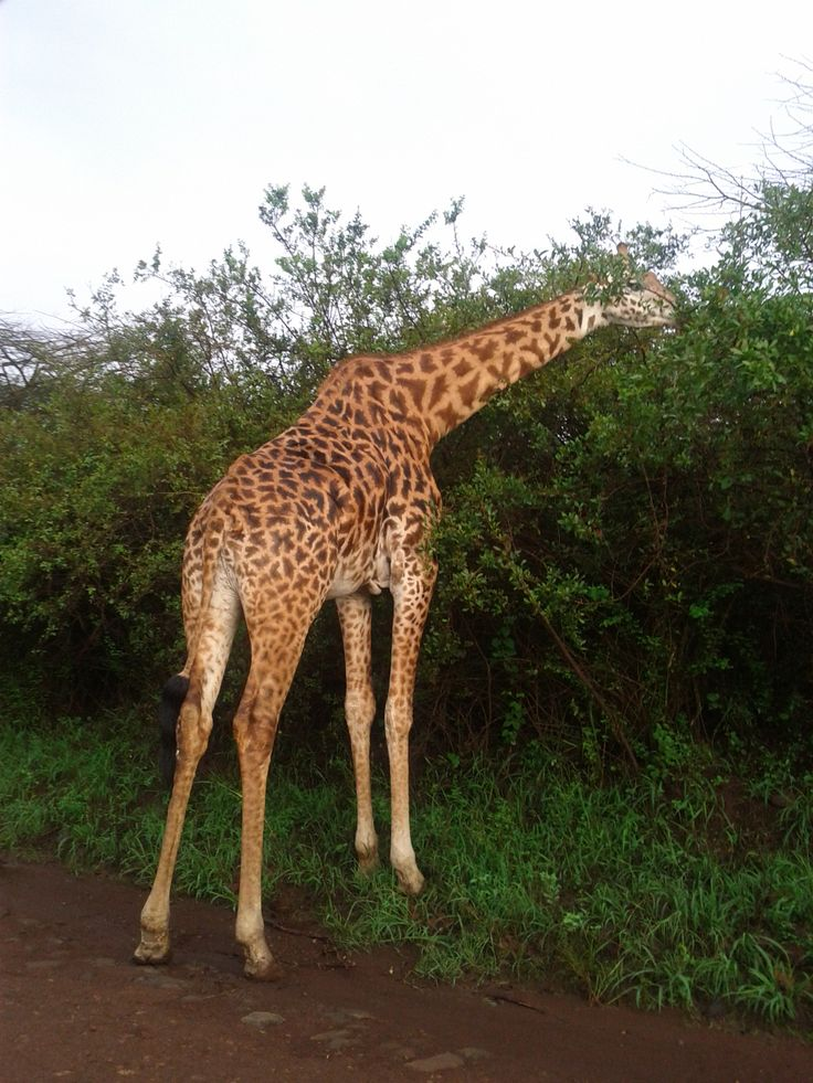 giraffe in Nairobi National park.
