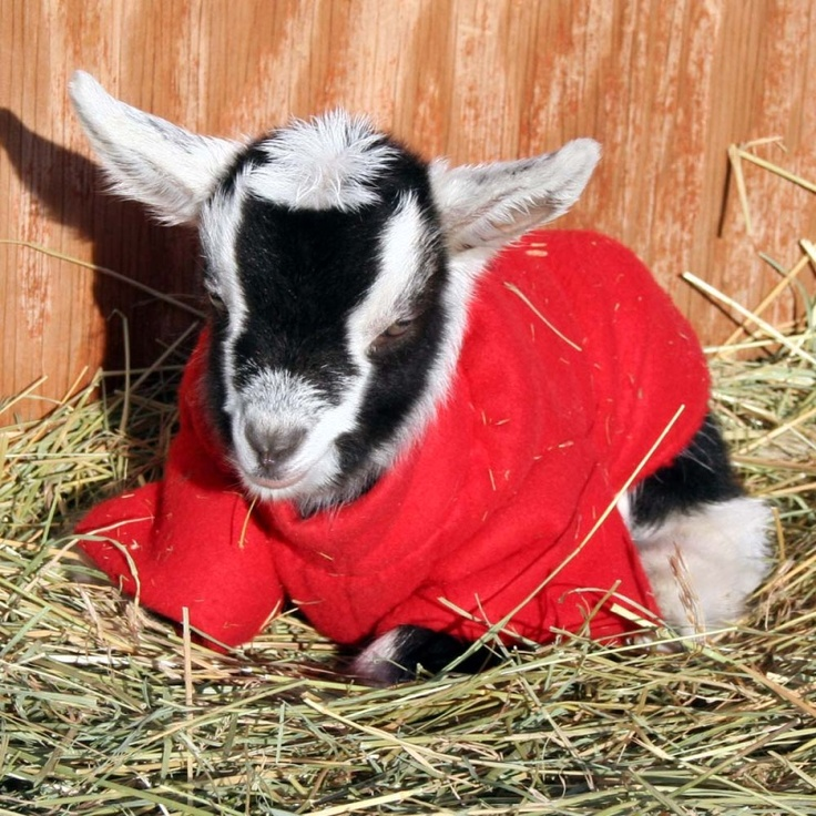 17 Best images about Goats in sweaters on Pinterest