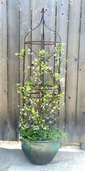 Star jasmine in a pot on the porch.