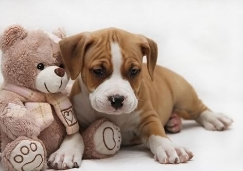 фото щенка Американский стаффордширский терьер