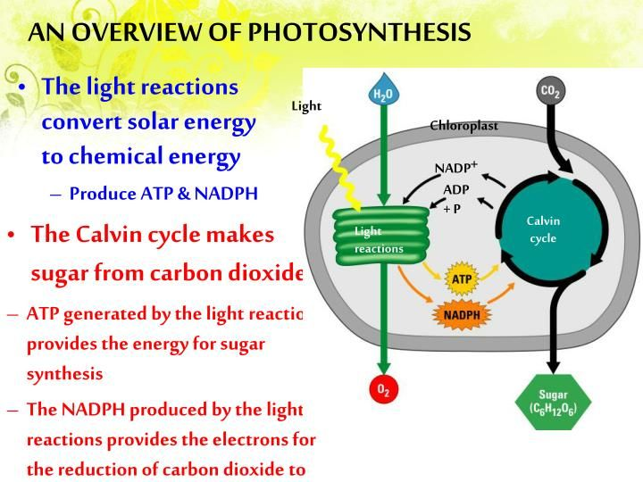 Photosynthesis Photosynthesis Light Reaction Chemical Energy