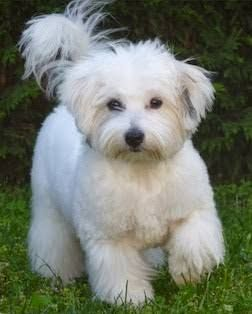 Image result for coton de tulear haircut pictures
