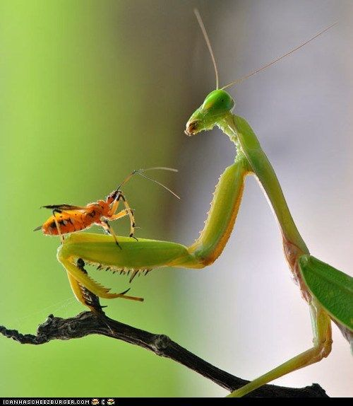 : Nordin Seruyan, Animal Pictures, Animals, Nature, Bugs, Photographer Nordin, Insects, Praying Mantis