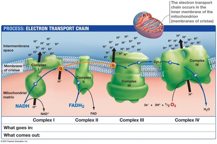 Electron Transport Chain: occurs in the mitochondria (inside of the inner mitochondrial membrane); complex carrier mechanism; during oxidative phosphorylation, ATP is produced when high energy potential electrons transferred from NADH & FADH2 to oxygen by series of carrier molecules in the membrane; as electrons are transferred, free energy is released, which is used to form ATP; most molecules are cytochromes (resemble hemoglobin at active site)