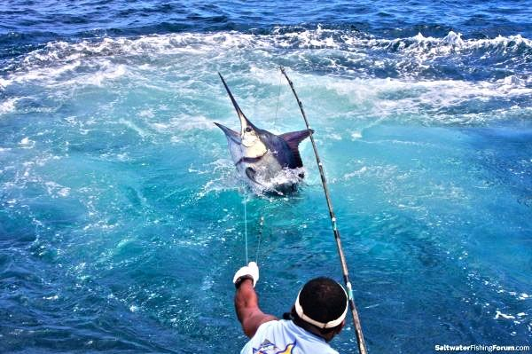 Beefy Blue Marlin #fishing #wickedcatch