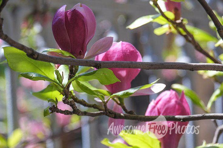56-awesomefreephotos-flowers-tree-magnolia-750