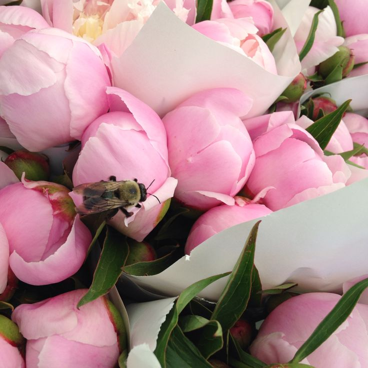 Peonies. This bee found his favourite peony  🐝   #peonies #twigflowers #twigweddings #farmersmarket #shoplocal #shopsmallbusiness #toronto #torontoflorist #florist #flowers #Spring #bees #savethebees #ontariogrown #canada